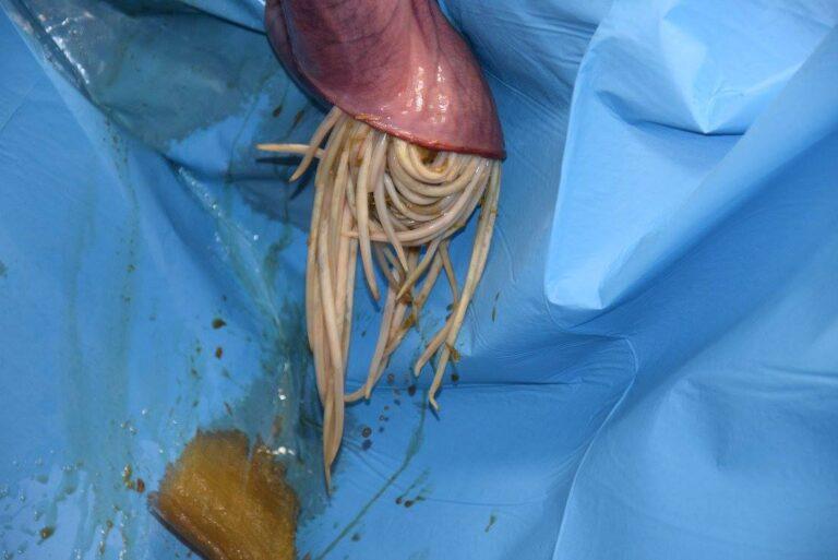 Lees meer over het artikel Spoelworm